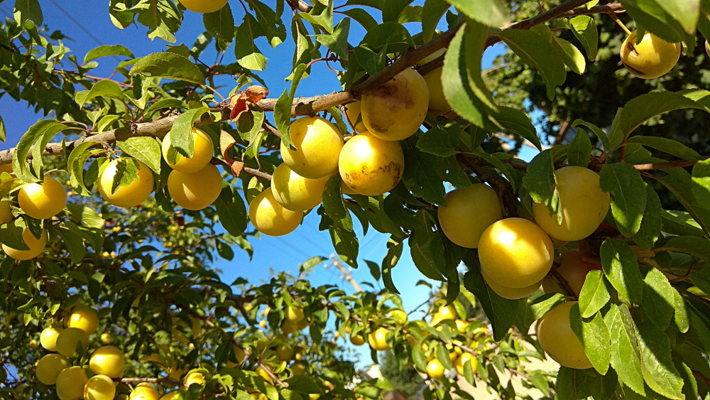 There's A Pruning For Fruitfulness On Its Way To You
